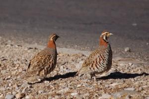 0012 Tibetan partridge