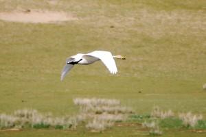 0067 Whooper swan