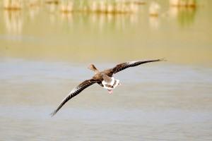 0073 Greylag goose