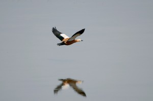 0079 Ruddy shelduck