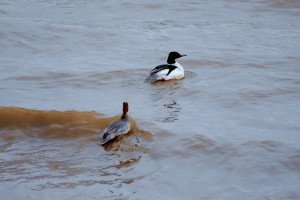 0114 Common merganser