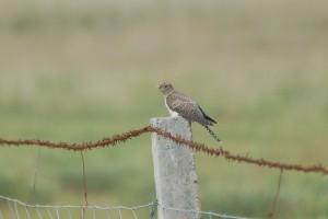 0193 Eurasian cuckoo