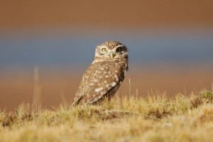 0249 Little owl