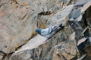 0264 Hill pigeon