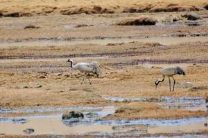 0302 Common crane