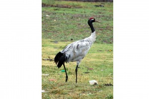 0304 Black necked crane