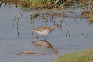 0343 Common redshank