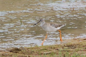 0349 Wood sandpiper, to be confirmed