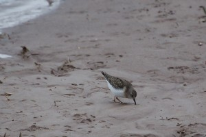 0364 Temminck's stint