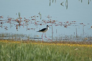 0386 Black winged stilt