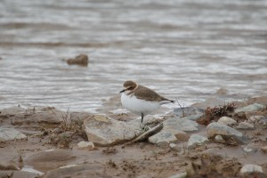 0393 Kentish plover