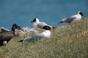 0422 Pallas' gull