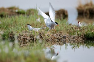 0440 Common tern