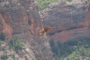 0461 Black eared kite