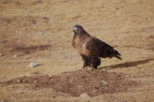 0494 Upland buzzard