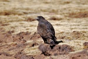 0498 Steppe eagle