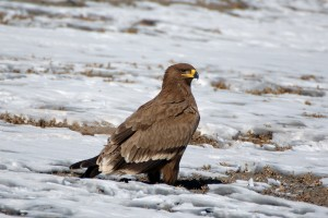 0500 Golden eagle