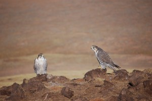 0514 Saker falcon