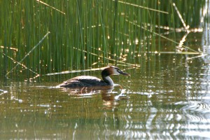 0520 Great crested grebe