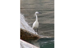 0535 Little egret