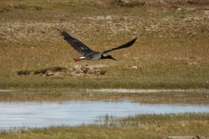 0568 Black stork