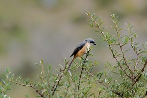 0617 Grey backed shrike
