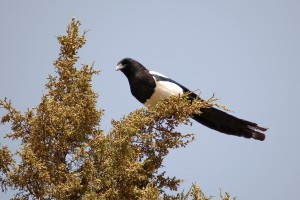 0636 Black billed magpie