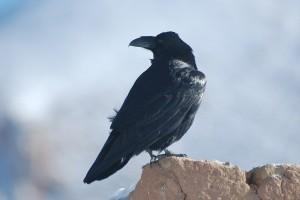 0651 Raven