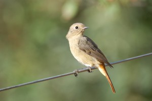 0785 Hodgson's redstart, female