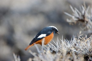 0788 White winged redstart