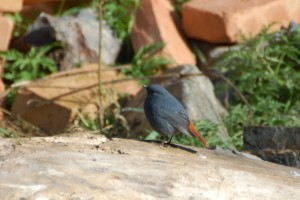 0791 Plumbeous water redstart