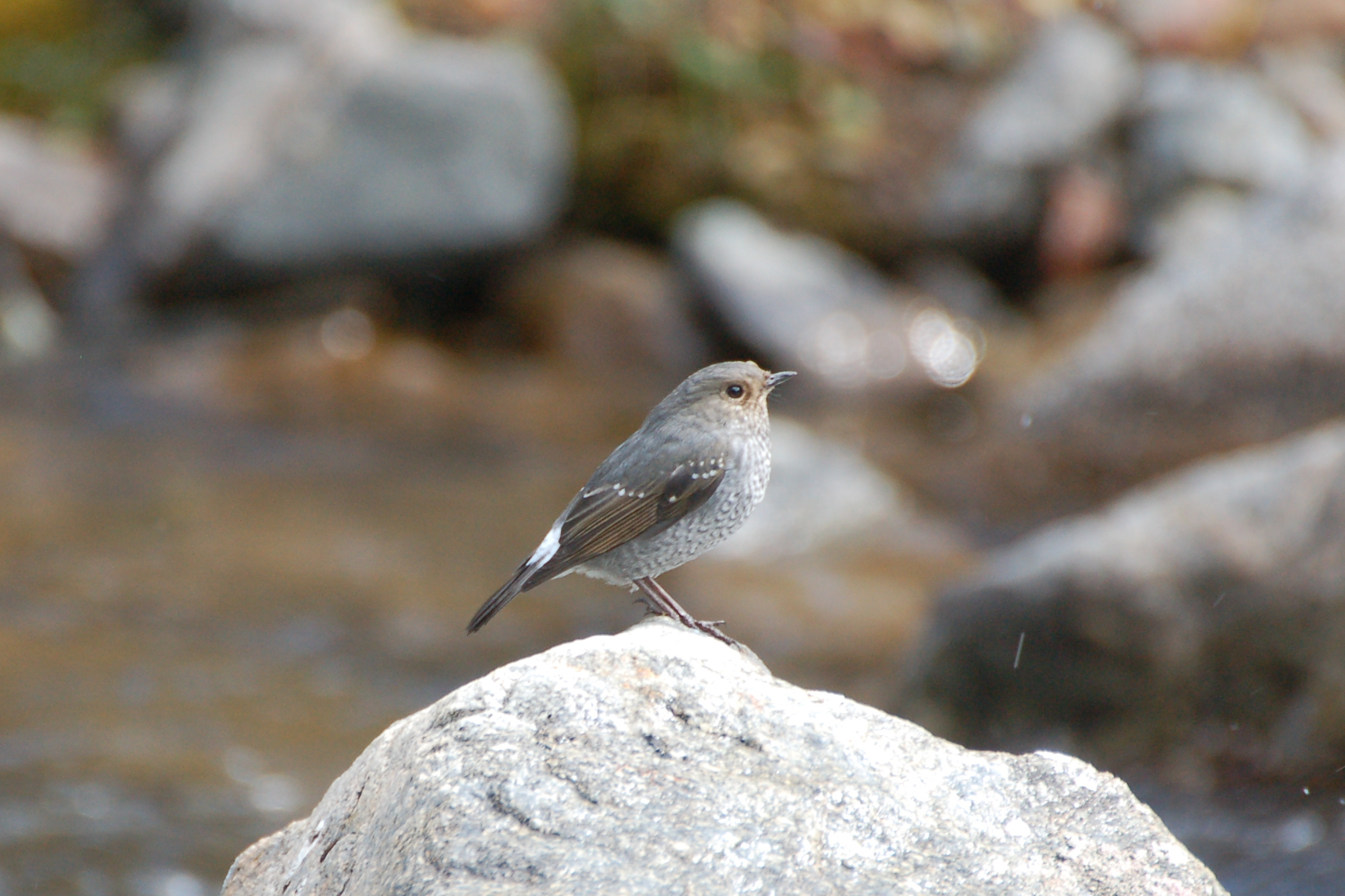 0791 Plumbeous water  redstart, female