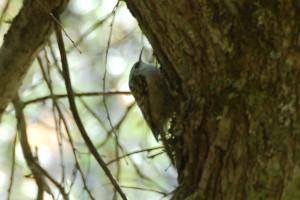 0844 Eurasian treecreeper