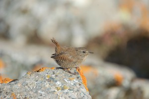 0848 Winter wren
