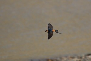 0884 Red rumped swallow
