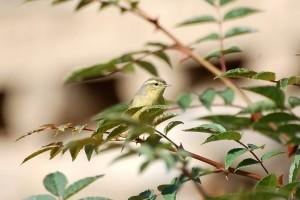 0977 Tickell's leaf warbler