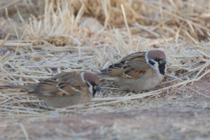 1198 Eurasian tree sparrow
