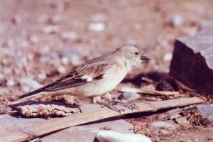 1201 Tibetan snowfinch