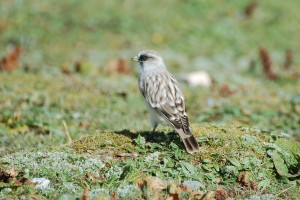 1202 White rumped snowfinch