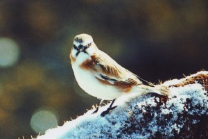 1204 Rufous necked snowfinch