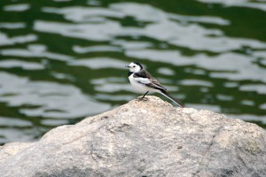1207 White wagtail