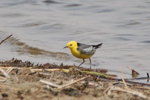 1210 Citrine wagtail