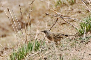 1222 Rosy pipit