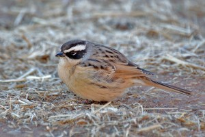 1231 Brown accentor